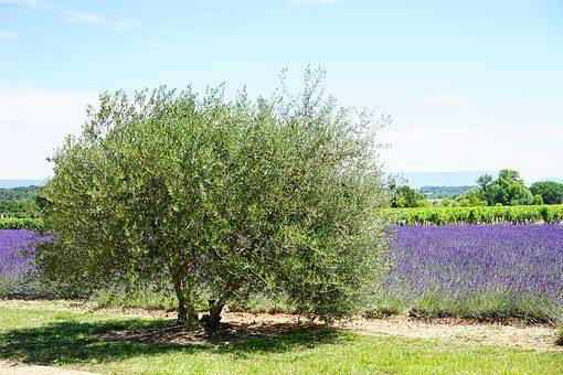olive-tree-1595493__340[1]